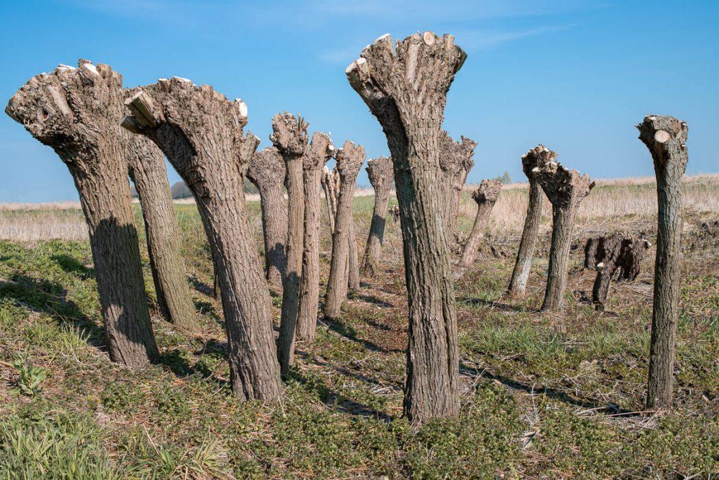 Pollard willow 1